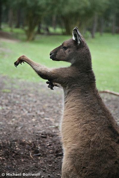 Boxing Kangaroo by Michael Boniwell