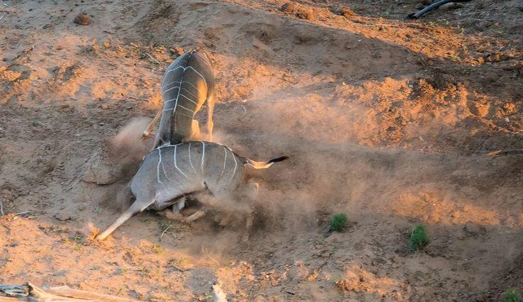 A lesson in kudu karate