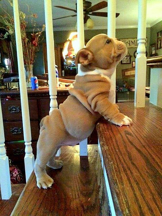 4.9.16 - Bulldog Puppies2
