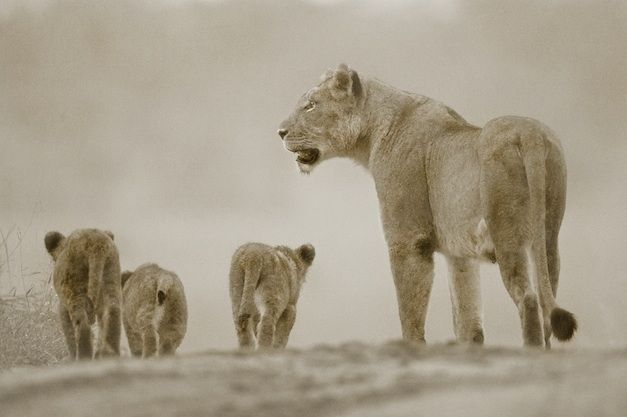 SECOND : Andy Goodman – Styx lioness and cubs