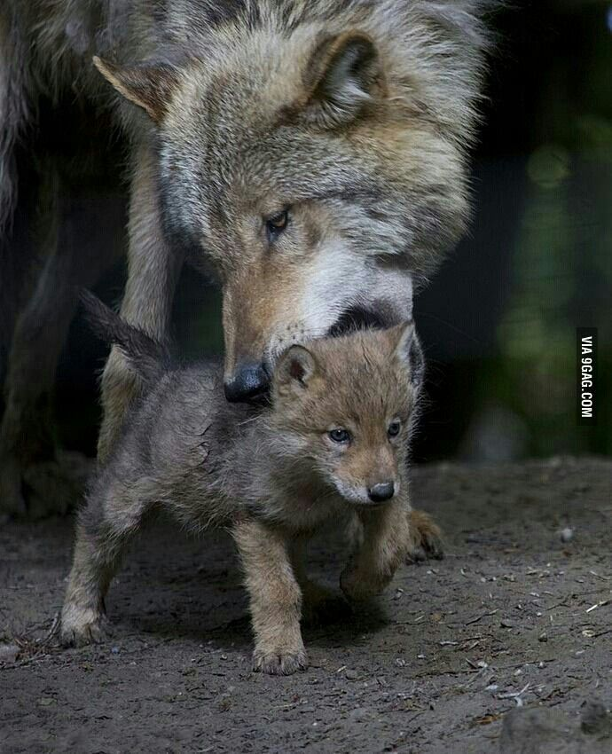 228 best Wolf + pup images on Pinterest | Wild animals ...