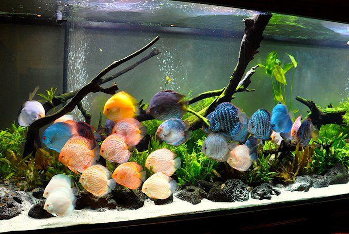 Discus tank cool fish tanks pinterest poissons for Aquarium et poisson