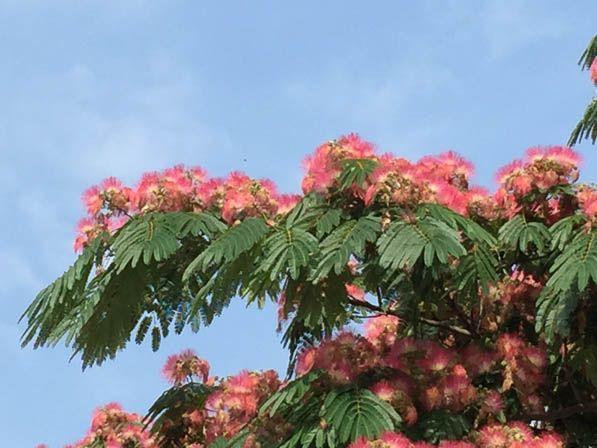 Les 25 meilleures id es de la cat gorie albizia arbre sur for Taille d un albizia