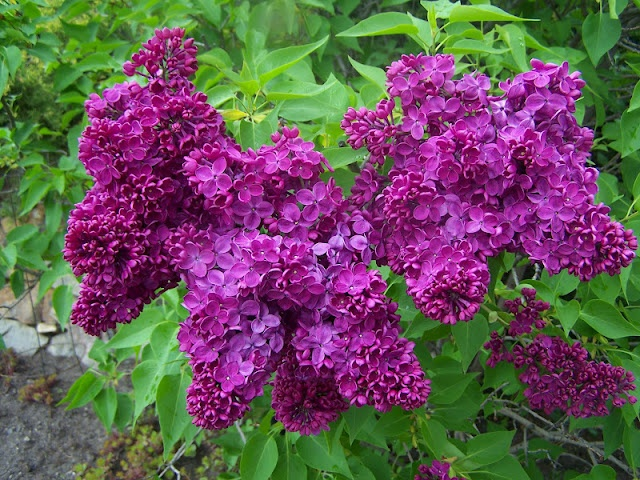 322 besten Lilac Bilder auf Pinterest | Flieder, Blumen und Lila blüten