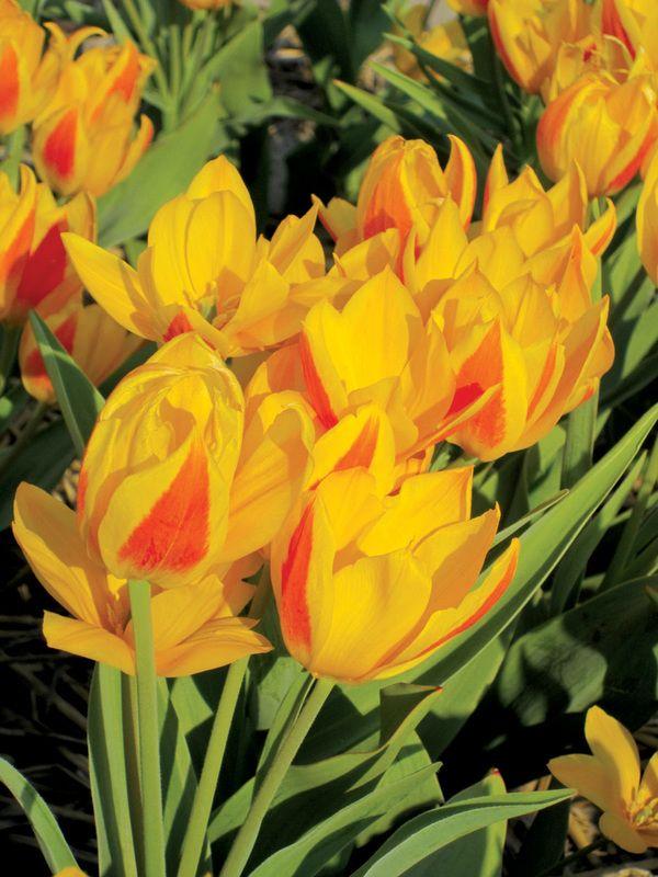 Brent And Becky S Bulbs Bulb Flowers Vibrant Flower Tulips