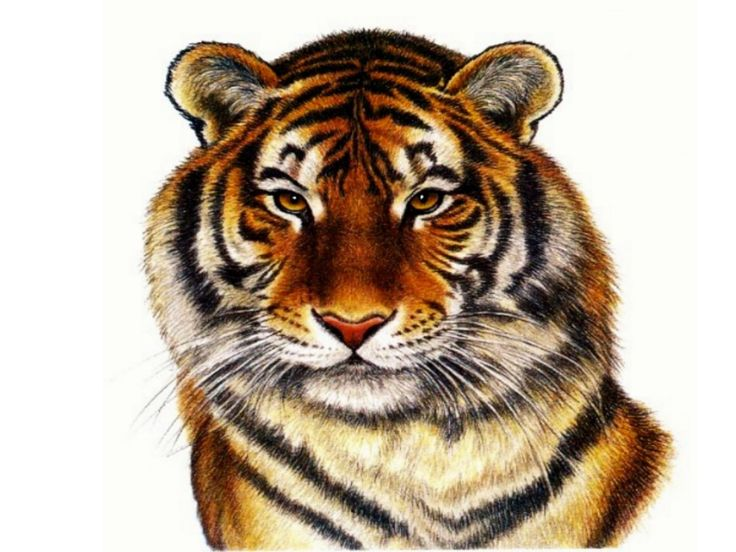 Tiger Art Francien Wall Free Animals Wallpaper Image