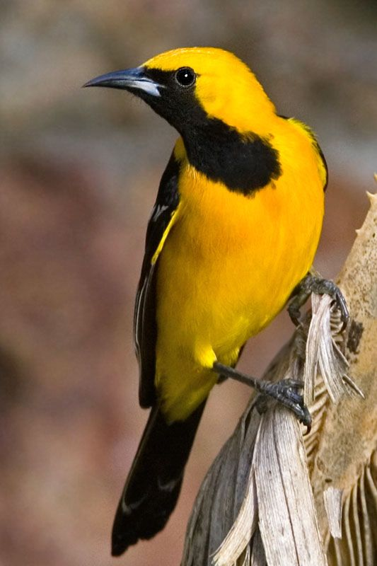 40 best images about Birds of Southern California on ...