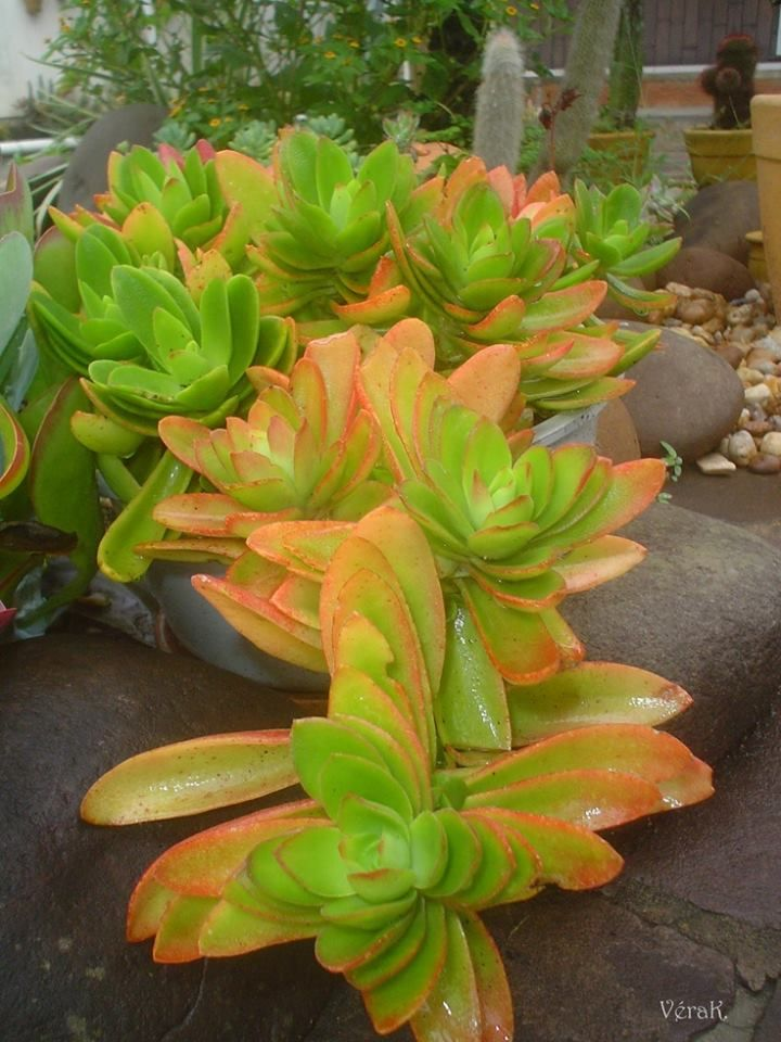 Crassula capitella 'Campfire' World of Succulents