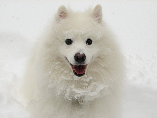 American Eskimo Dogs make great pets! Just like our first pet when we married....Simon