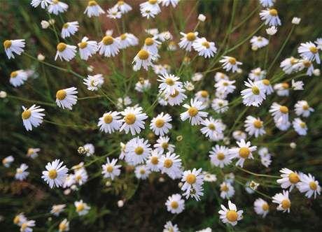 Heřmánkovec Nevonný (Tripleurospermum Maritimum)