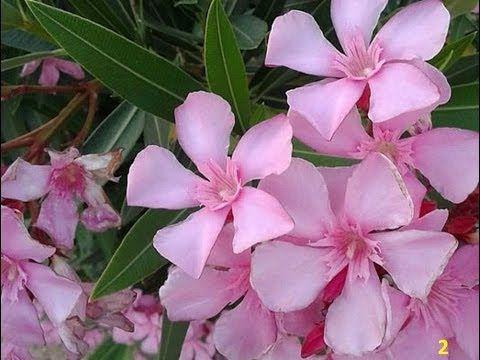 Adelfa planta venenosa conocida como laurel de jardín, rosa laurel, baladre. - YouTube
