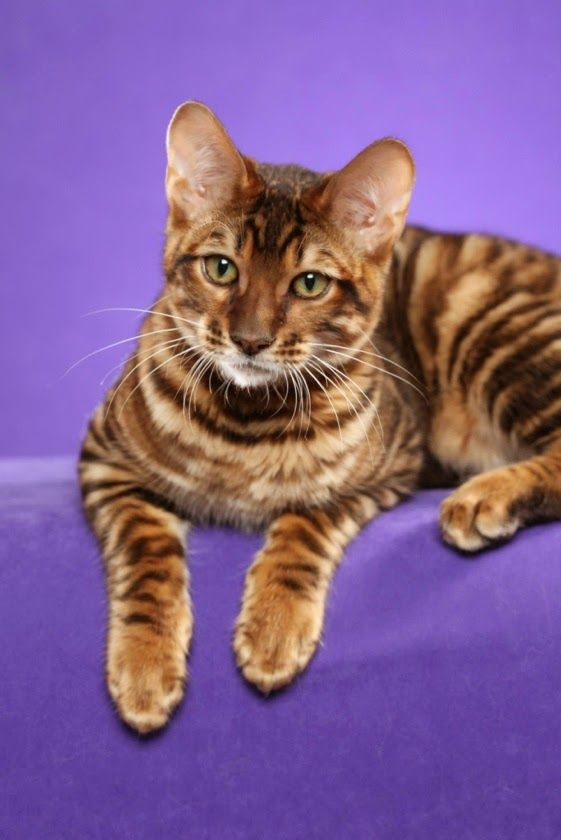 ToygerTop 5 Kids Friendly Cat Breeds