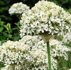 Allium nigrum to 75 cm flowers June