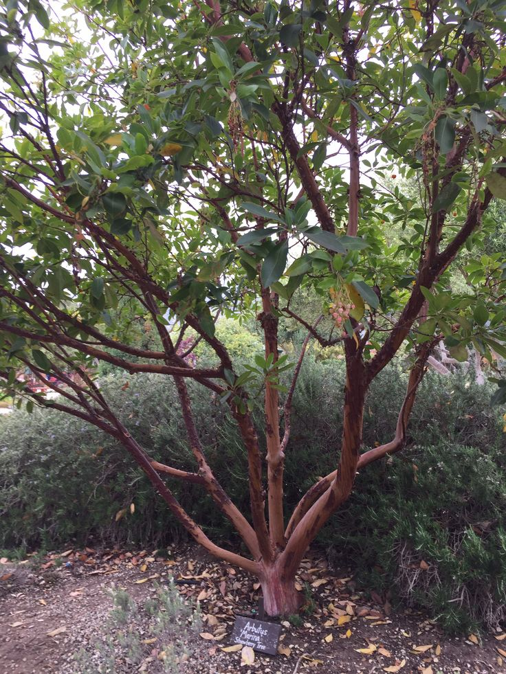 17 best images about multi stem trees on pinterest for Small specimen trees