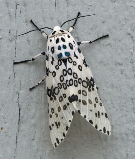 Giant Leopard Moth or Eyed Tiger Moth. Like all small creatures, I marvel at their stunning design - I'd probably wear this if it let me.