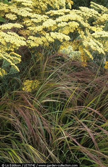 Achillea and grasses. Love the combination of the two plants. Color & texture really set each other off.