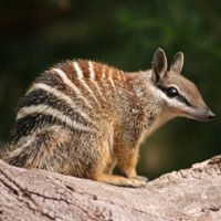 The numbat is a vulnerable Australian marsupial.  The only Numbat colonies in the wild are to be found in Western Australia where it has been adopted as the state's animal emblem. W.A.'s bird emblem is the black swan. The numbat is officially extinct in the N. T. with only a captive colony housed in the nocturnal house of the Alice Springs Desert Park. Two numbat populations live within large, fenced reserves in South Australia & New South Wales.
