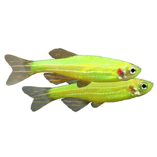 Danio glofish live fish petsmart awesome pinterest for How long do fish stay pregnant