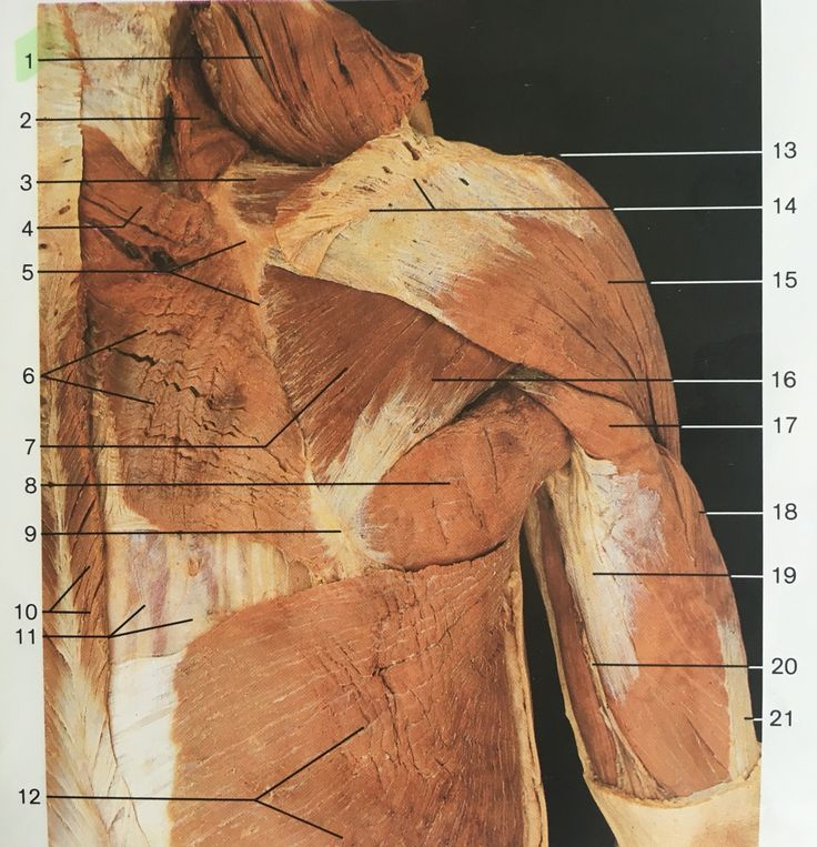 Deeper layer of muscles of shoulder and arm in dorsal aspect and right side ( the trapezius has been cut , no1&10): 2: levator scapula, 3: supraspinatus, 4: rhomboid minor, 6: rhomboid major, 7: infraspinatus, 8:teres major, 11: intrinsic muscles of back, 12: latissimus dorsi, 15:deltoid, 16: teres minor, 17,18,19: triceps brachii