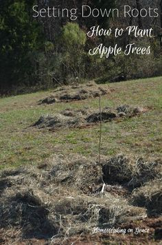How to plant and where to find heritage apple trees, and even a little history on the apple tree