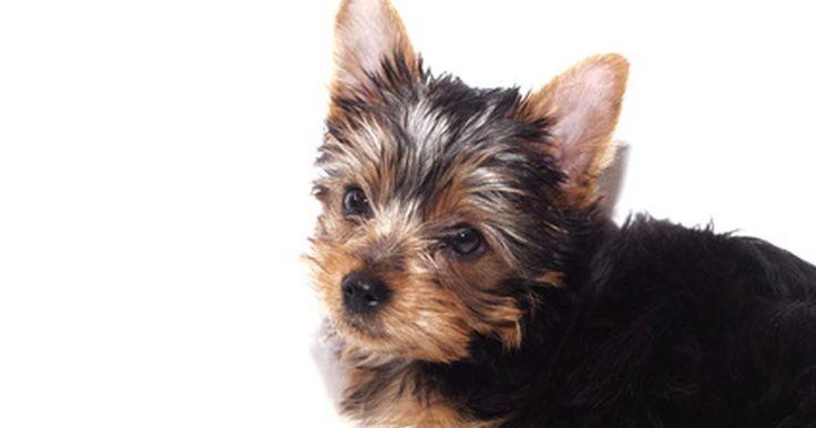 """¿Cómo cuidar un cachorro Yorkie miniatura?. Aunque ningún registro prestigioso reconoce las variedades de Yorkie miniatura, los criadores suelen llamar a sus perros más pequeños """"miniatura"""". Los criadores de Terrier Yorkshire no son distintos; consideran a la mayoría de estos pequeños perros llamados Yorkies miniatura. Estos pequeño canes son delicados y requieren un cuidado especial debido ..."""