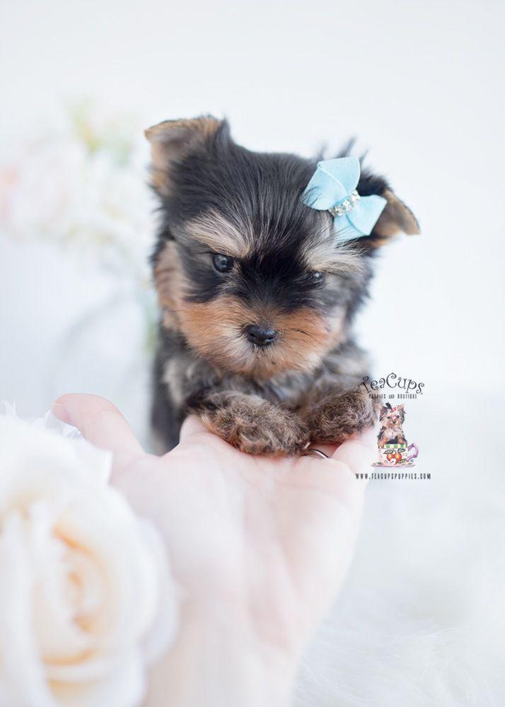 Yorkie Puppies For Sale Yorkiepuppyforsalenearme Yorkie Puppy