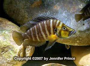 AfricanCichlids.net - Photo Gallery - Lake Tanganyika Cichlids