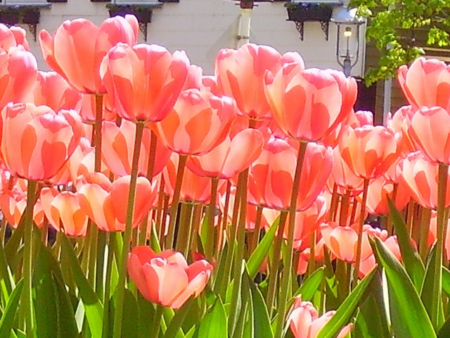 coral tulips