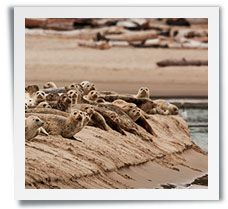 Look for Harbor seals at Siletz Bay in Lincoln City, OR