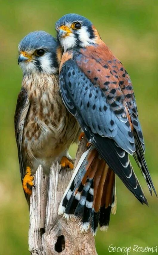I used to be really interested in raptors as a kid. And it all started with having a close encounter with a tame kestrel in Arizona.