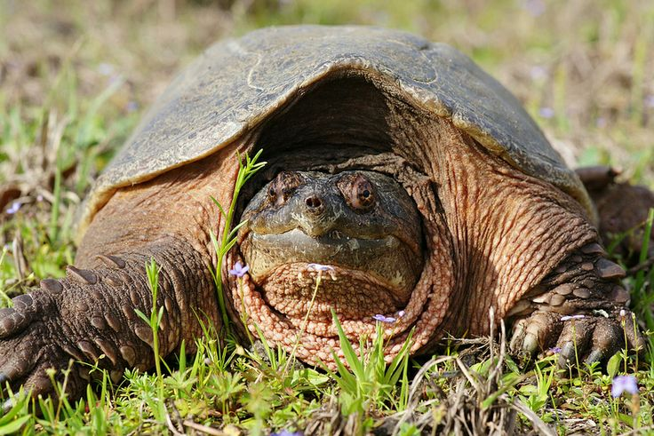 The alligator snapping turtle (Macrochelys temminckii) is one of the largest freshwater turtles in the world.