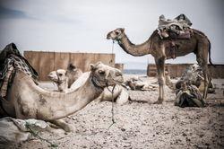 Kuriose Fakten der Tierwelt - Speichern Kamele Wasser in ihren Höckern?...