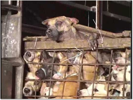 Slaughter House: Dogs Desperate Eyes | Stop animal abuse ... - photo#22