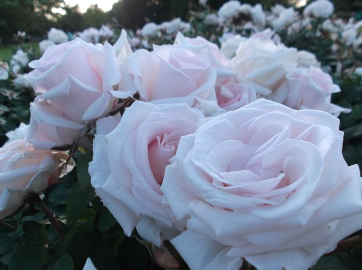 Roses in bloom on a summers evening - Regents Park