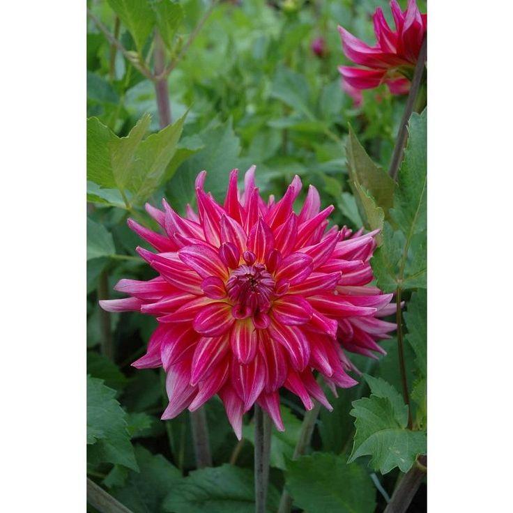 Dahlia pinky swear decorative 23 tall 9 bloom