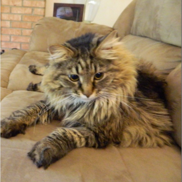 Mancoon cat - NAMED JYNX. Well this isn't Jynx but it's what my cat is named that looks exactly like this