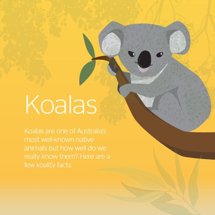 Koalas are one of Australia's well-known native animals. Get to know the Koala a little better with our infographic.