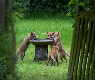 Hazel Byatt - Fox Cubs at the bird bath... her garden in Surrey, UK. I wish this photo was from my garden