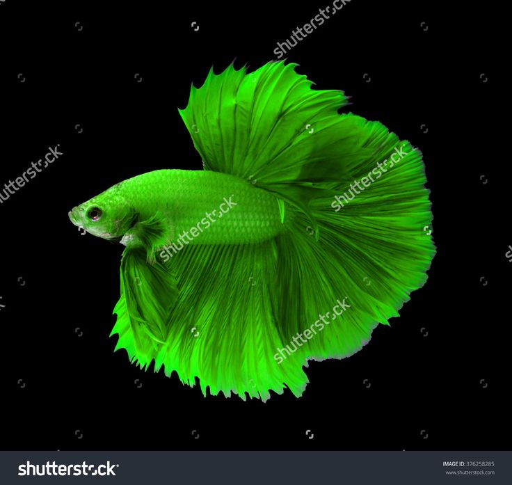 299 besten kampffische bilder auf pinterest kampffische for Rare types of betta fish