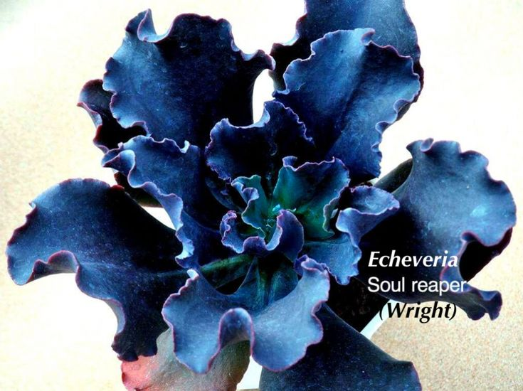 Echeverias, the Loveliest of Succulents | Succulents and Succulent Garden Design | Debra Lee Baldwin