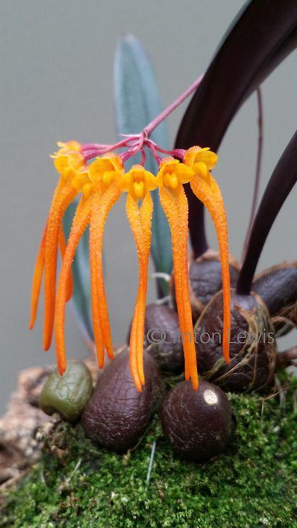 Bulbophyllum thaiorum (Thailand/Vietnam)