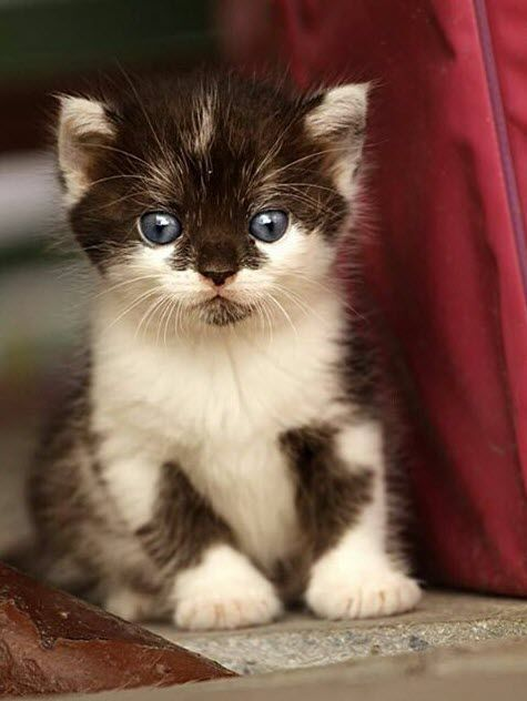 Awesome Cat! - Cat Meow, Black White, Blue Eye, Dogs Lovers, Baby Faces, Cat…