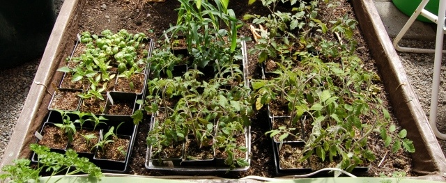 Hardening off seedlings + grape pruning, bees, and an essential gardening tool
