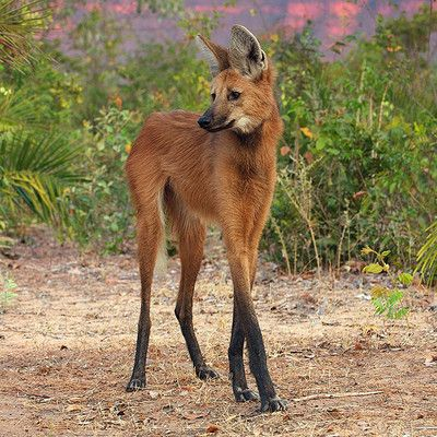 What animal is that? Maned wolf!  The maned wolf's markings resemble those of foxes, but it is not a fox, nor is it a wolf, as it is not closely related to other canids.