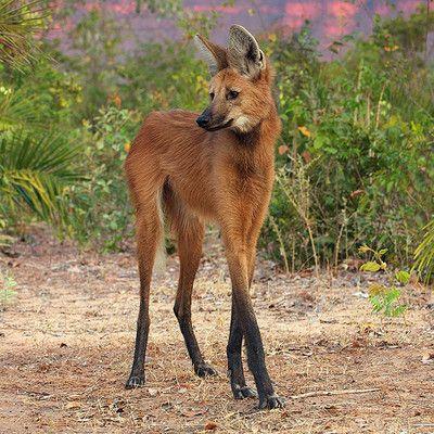 Что это за животное? гривистый волк! Гривистый волк по внешнему виду похож на лису (за исключением длинных ног). Однако, это не лисица, и не волк, не смотря на схожее название вида.