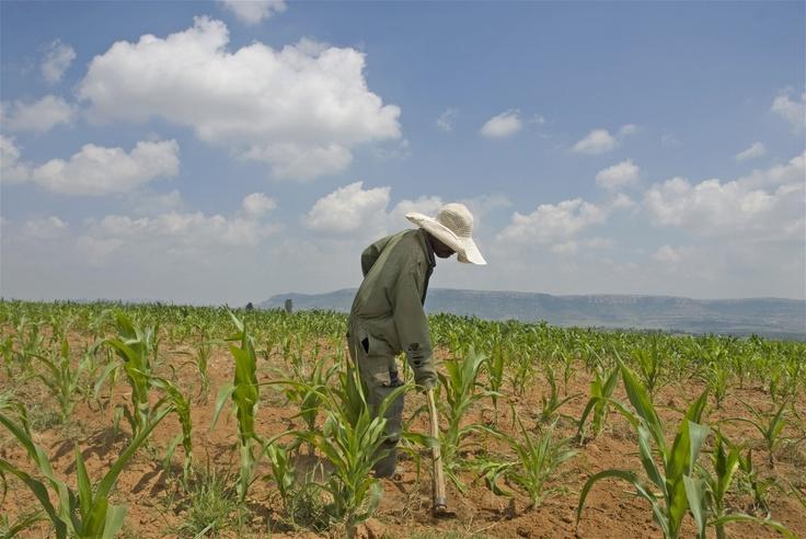 Lejoetso Thekiso in his maize field in Ha Mosalla, near Maseru, Lesotho