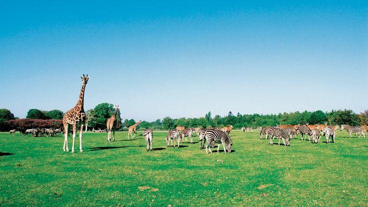 Knuthenborg - giraffer, savanne
