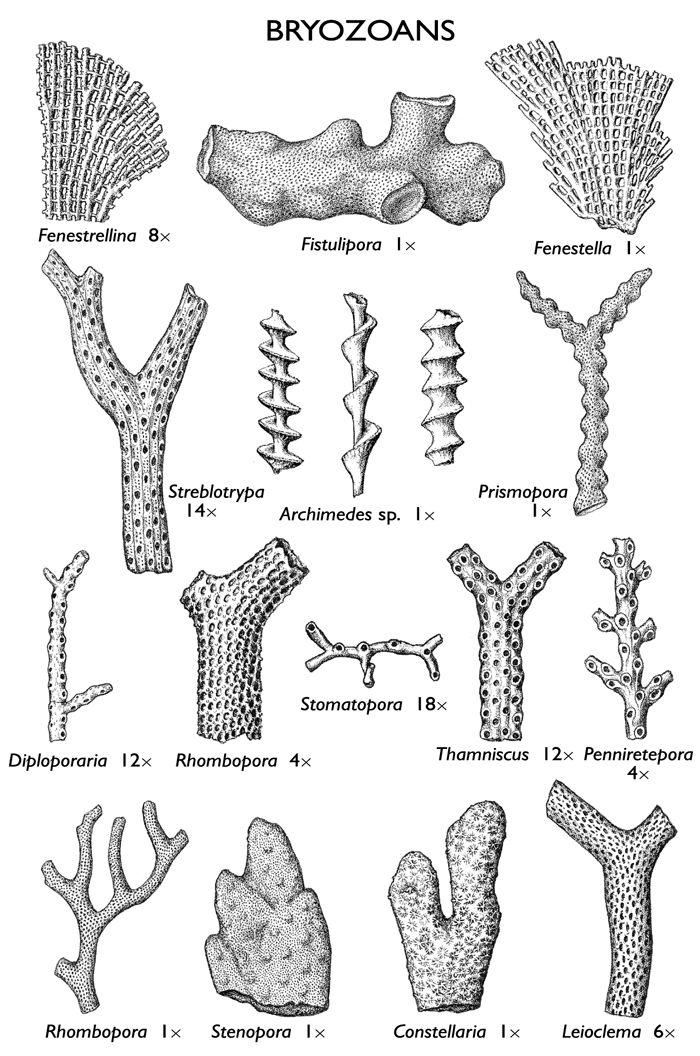 images of bryozoan fossils | Fossils | Dinosaur fossils, Crinoid