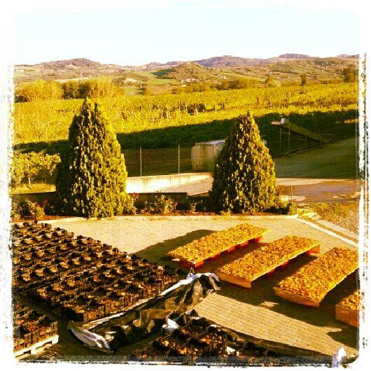 L'uva per il passito riposa al sole #piacenza #valtidone #tenutapernice #vigneti #vino 2012
