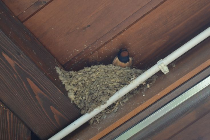 Mother barn swallow (hirundo rustica)